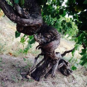 z wine vine