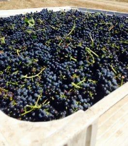 z wine grapes