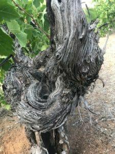 HEIN_Ancestor Vine 2